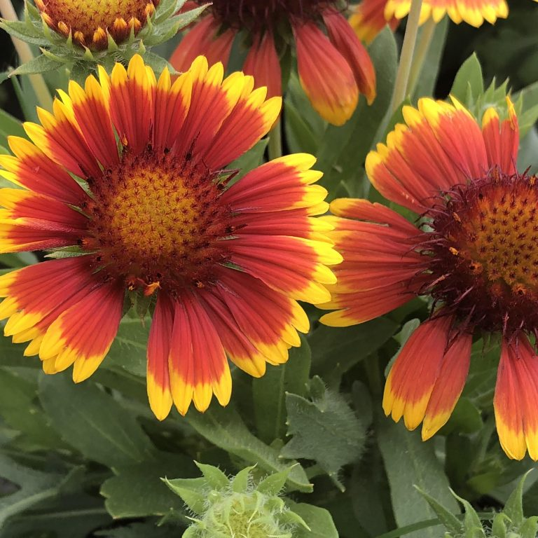 "Gailardia: Arizona Sun 6"" (Blanket Flower)"