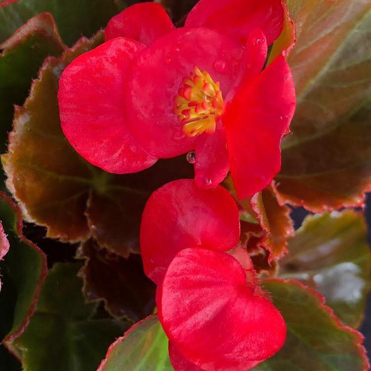 "Begonia Red/Red 4.33"""